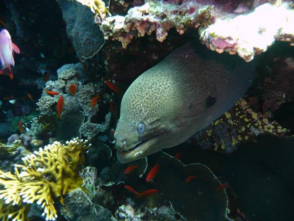 Muraene zwischen Korallen
