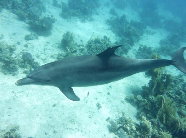 Ferdinand > neugieriger (wilder) Delphin