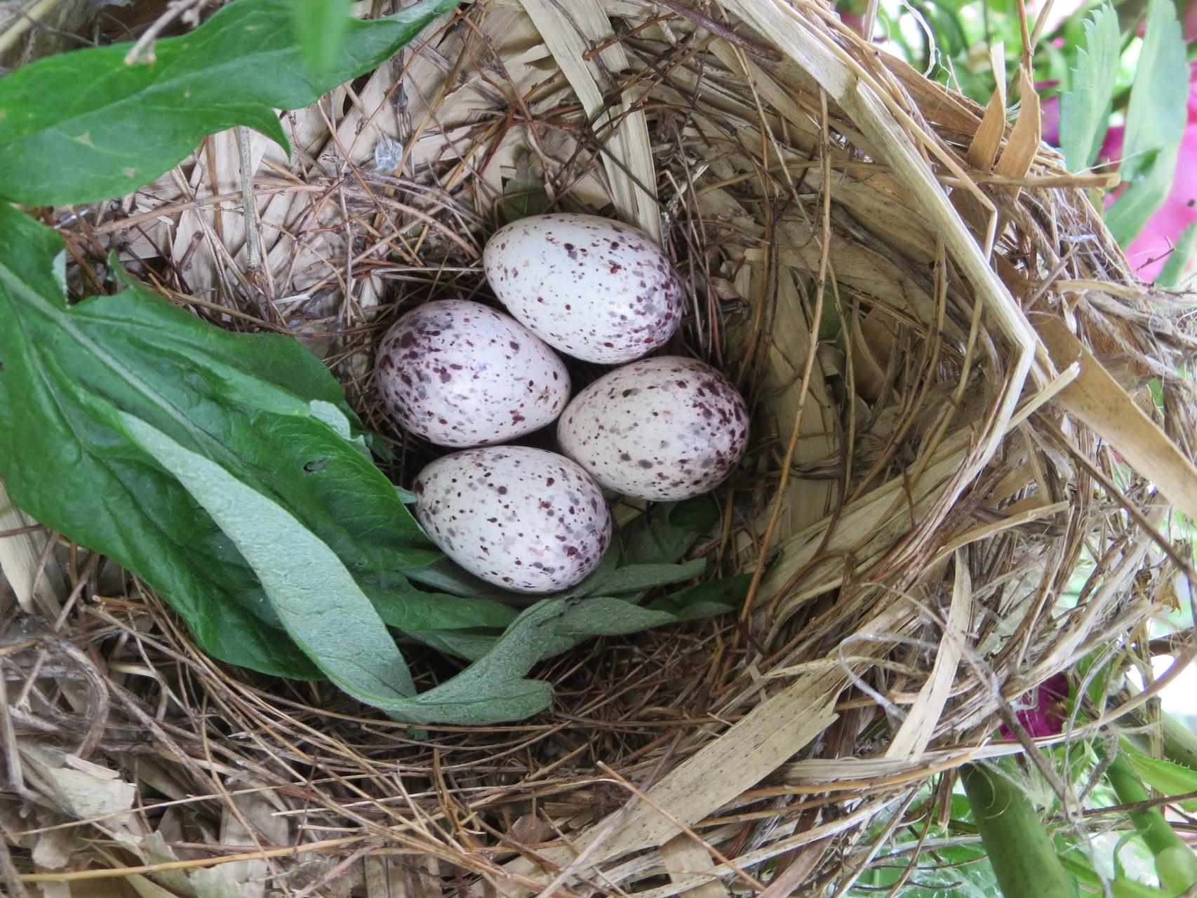 2015年05月28日 卵4個  増えてる~!?