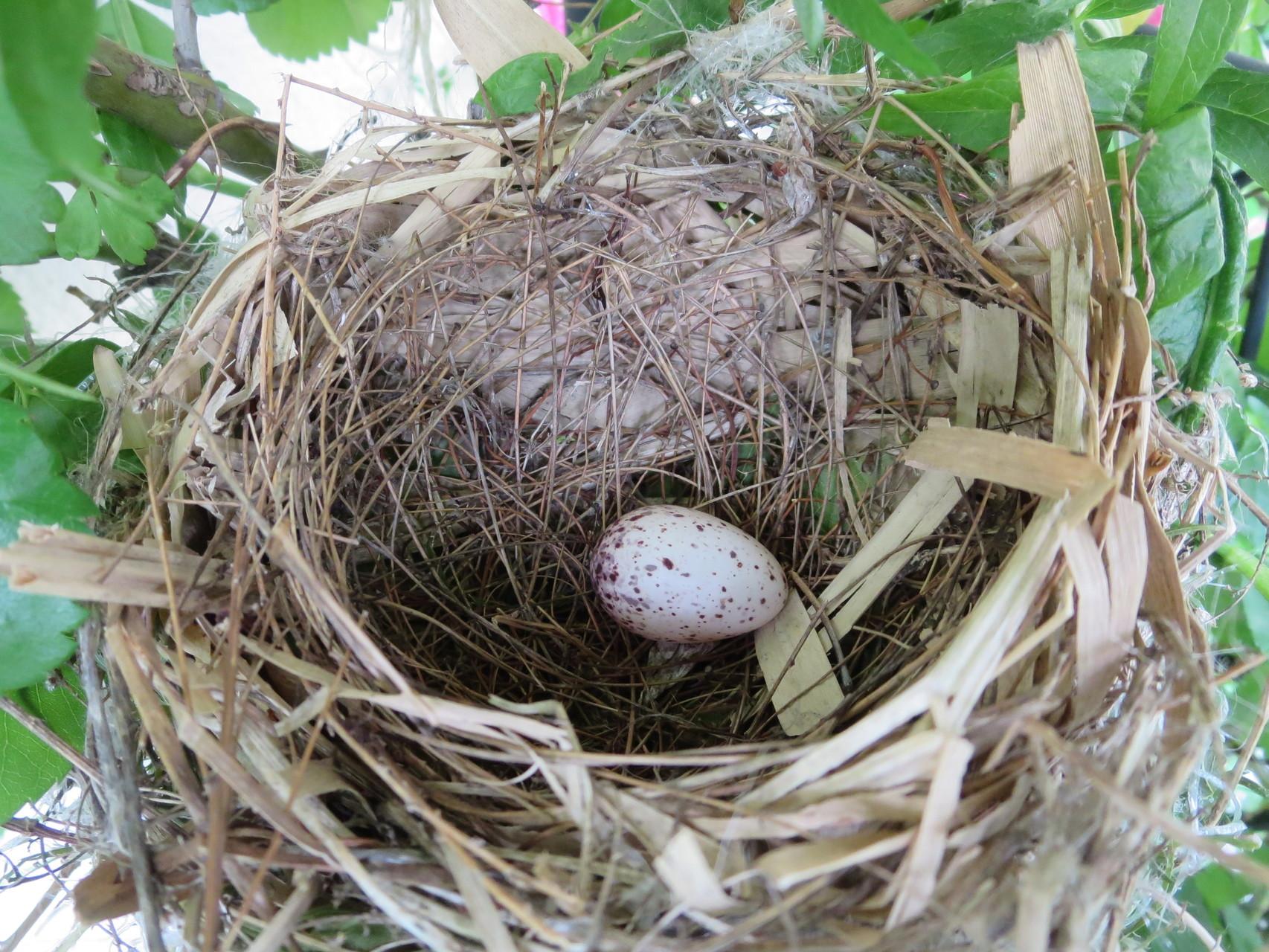 2015年05月25日 巣完成・卵1個