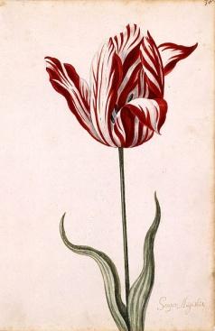 Самый дорогой тюльпан — «Август навсегда»