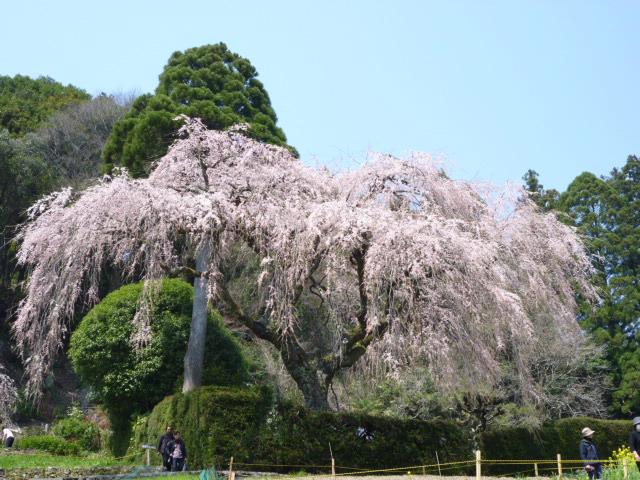 中越家のしだれ桜(仁淀川町)
