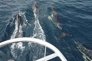 Dauphins en mer