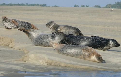 phoques - Baie de Somme - sortie nature - phoques veaux marins - phoques gris - guide expert, Cayeux sur mer, Le Hourdel