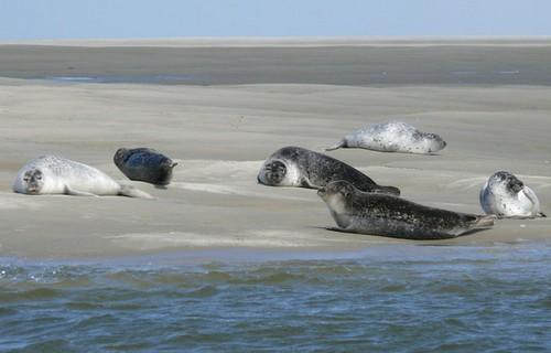 baie d'Authie, dunes, oiseaux, phoques veaux marins, phoques gris, sortie nature, guide spécialiste, Berck sur mer
