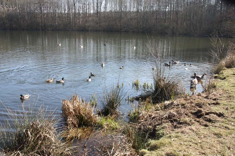 Das zu Hause vieler Entenfamilien: der Röttgener Tongrubenweiher. Die ersten Gössel sind sicher schon in der Mache.