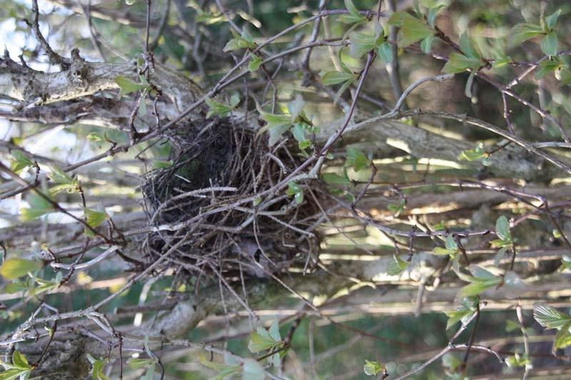 Die ersten Nester sind gebaut und der Nachwuchs kann kommen. Ob dieses Nest bewohnt oder ein  verlassener Altbau aus dem letzten Jahr ist, kann nicht mit Sicherheit gesagt werden.