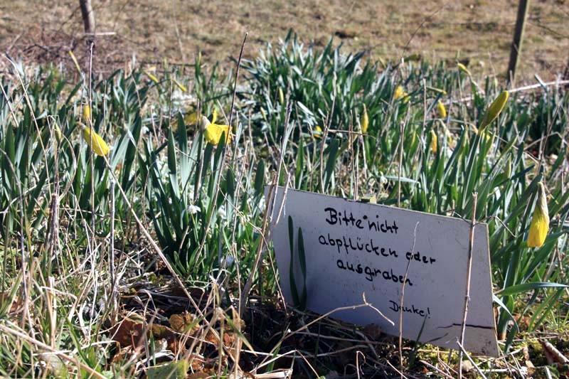 Erste Narzissen kündigen das Osterfest an
