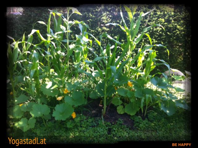 Indianerbeet - Mais, Kürbis und Bohnen ergänzen sich wunderbar!
