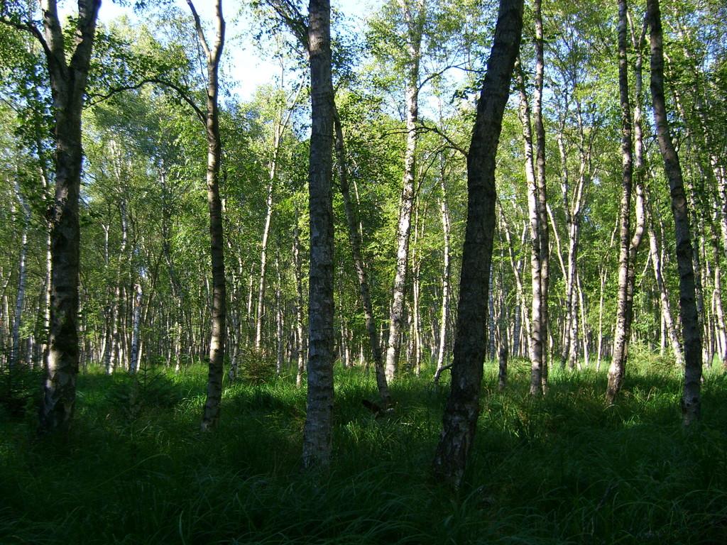 Birkenwäldchen im Peenemünder Moor (7/2008) - © Betonwolke