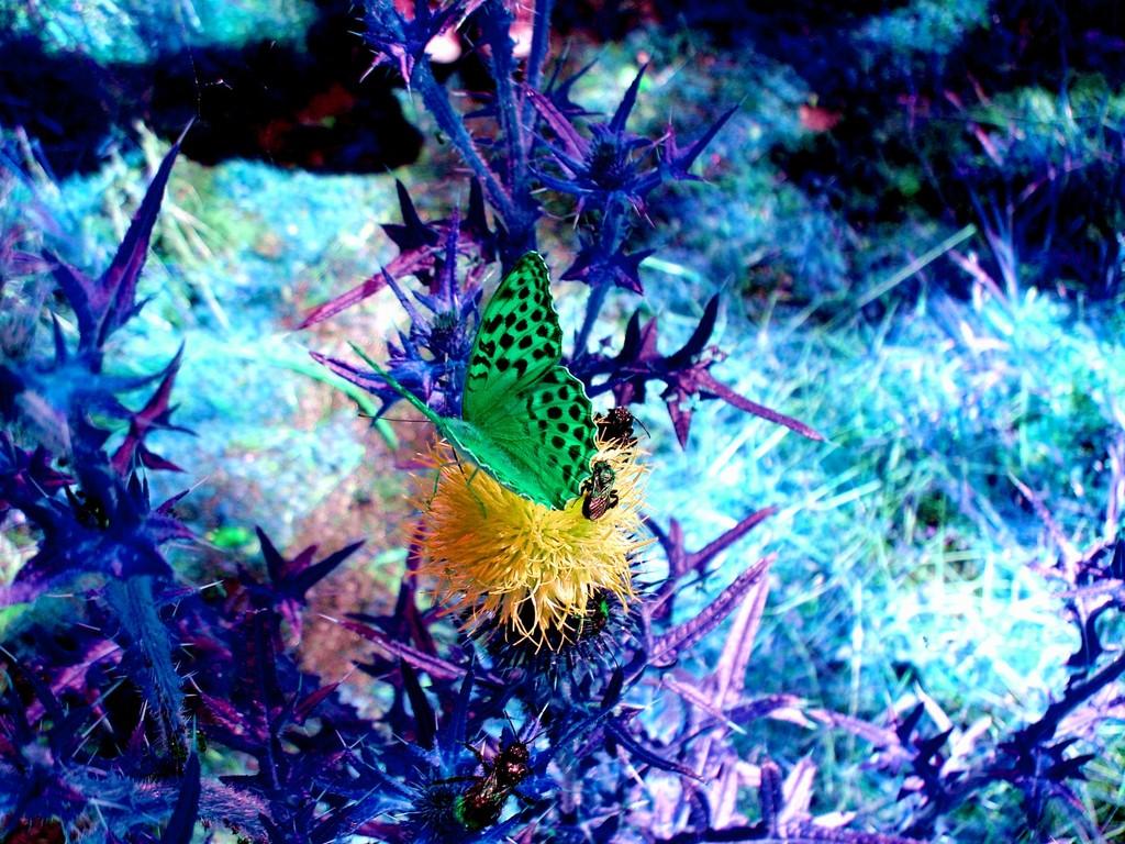 Schmetterling auf Diestel (digital bearbeitet) 8/2008 - © Betonwolke