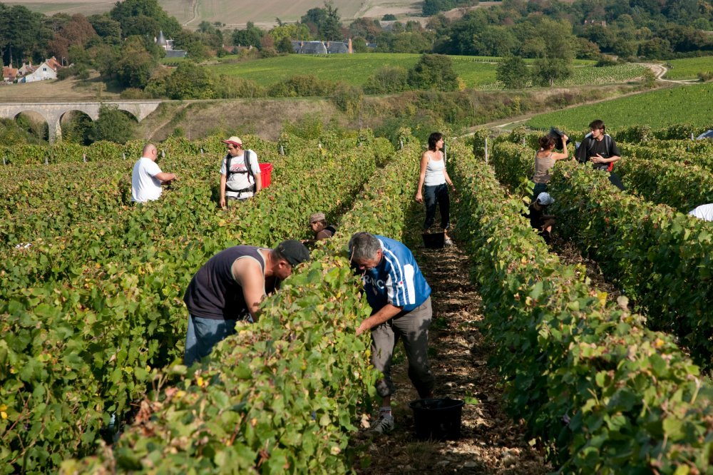 Grape harvest in Pouilly