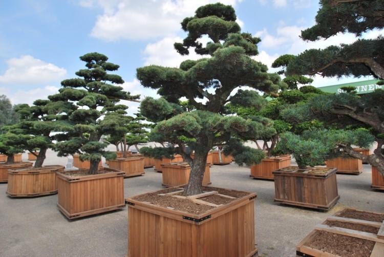 gartenbonsai pflege bonsai shop pflanzendiscount schweiz thuja christbaum mieten. Black Bedroom Furniture Sets. Home Design Ideas