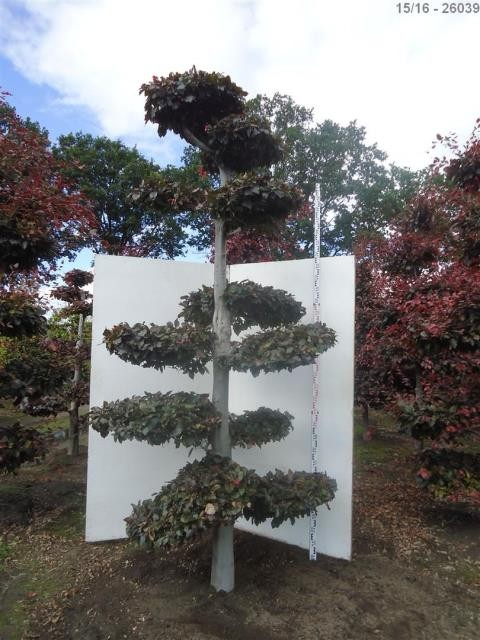 shop gartenbonsai bonsai kaufen chweiz pflanzendiscount. Black Bedroom Furniture Sets. Home Design Ideas