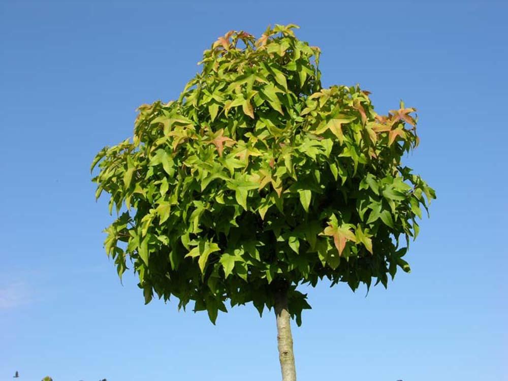 shop b ume bonsai pflanzendiscount schweiz thuja. Black Bedroom Furniture Sets. Home Design Ideas