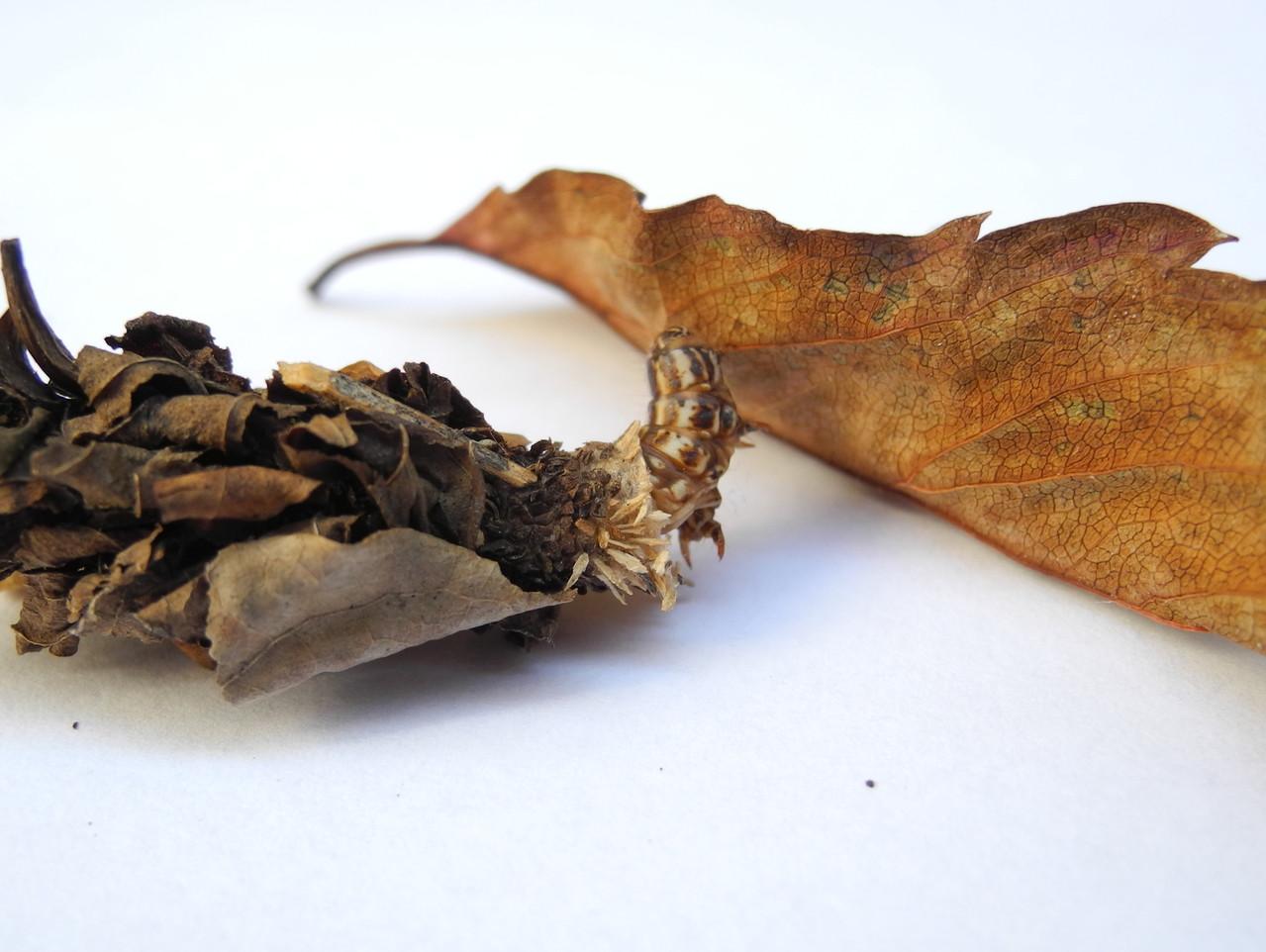 Psychidae   (Echte Sackträger)