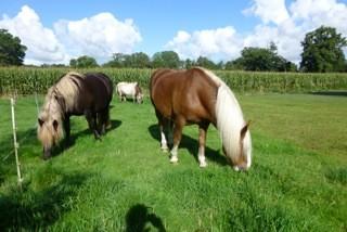 Dijano mit seinen Stallkollegen in Ostfriesland