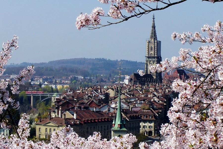 Bern Rosengarten mit japanischen Kirschenblüten und Münster