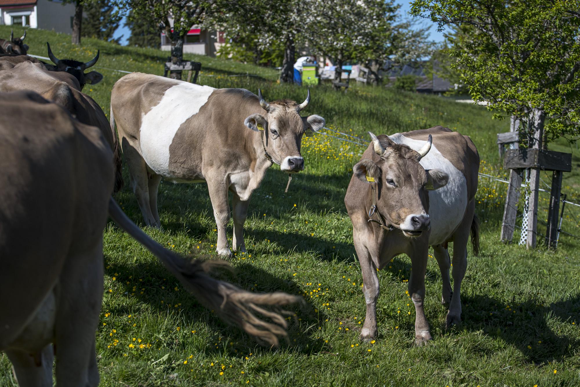 Unsere zwei Gurt-Kühe.
