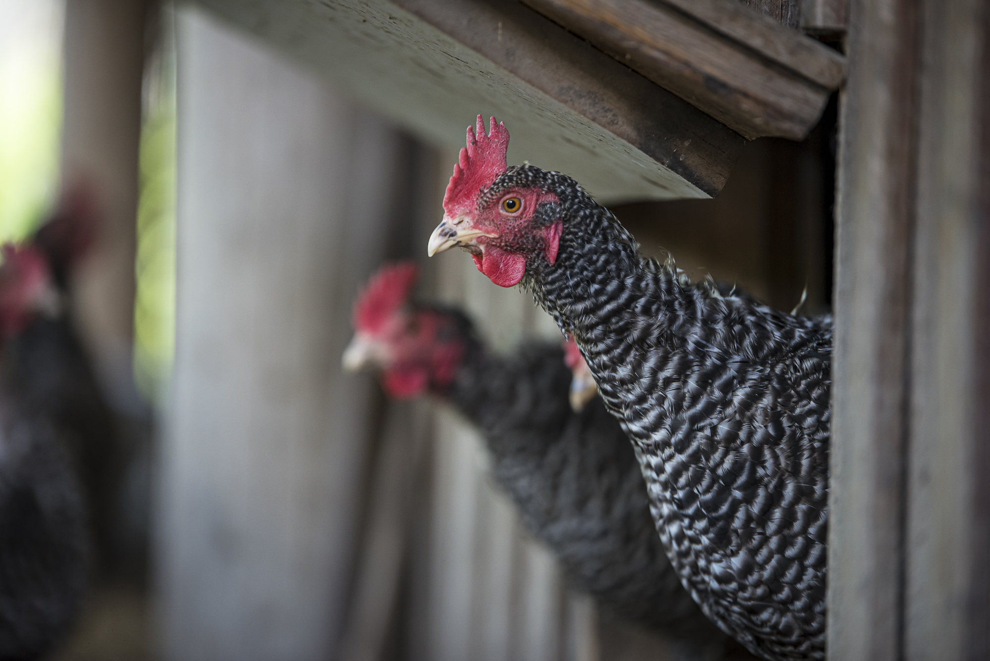 Unsere Hühner dürfen jeden Tag den Stall verlassen.