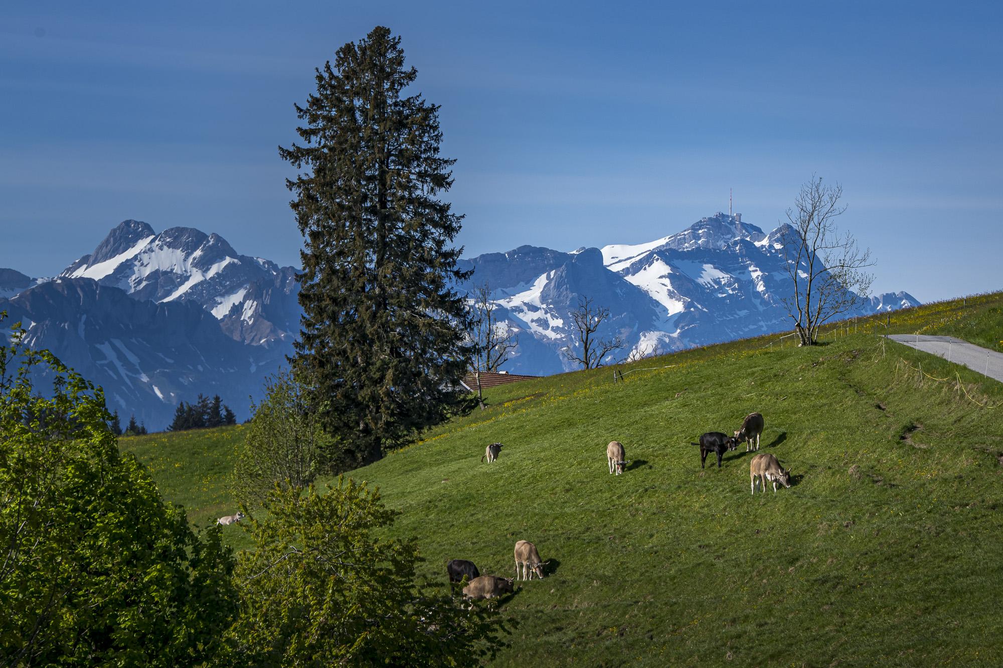 Jungvieh vor dem Alpstein.