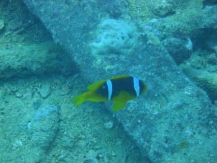 """Il relitto del Thistlegorm - AMPHIPRION BICINTUS - in gergo chiamato pesce pagliaccio bifasciato, il famoso """"Nemo"""""""