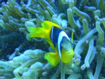 """AMPHIPRION BICINTUS - in gergo chiamato pesce pagliaccio bifasciato, il famoso """"Nemo"""""""