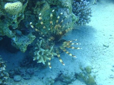 PTEROIS VOLITANS - in gergo chiamato pesce leone (Lionfish)