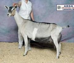 SGCH Tempo Aquila Tokay 5*M, dam of To Be.   Use of this photo courtesy of Tempo Aquila Alpines