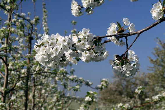 Kirschblüte bei Königschaffhausen
