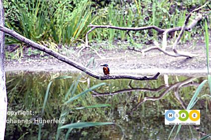 Eisvogel im Naturzentrum La Sauge