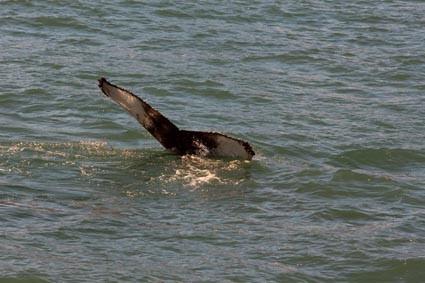 Buckelwal in der Skjálfandi-Bucht