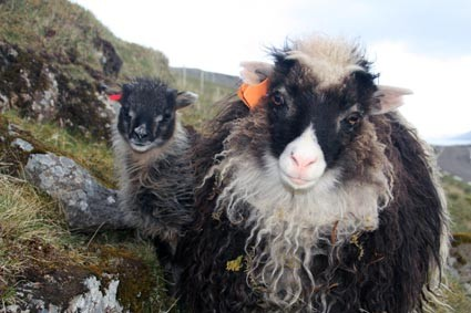 Schafe auf den Färöern
