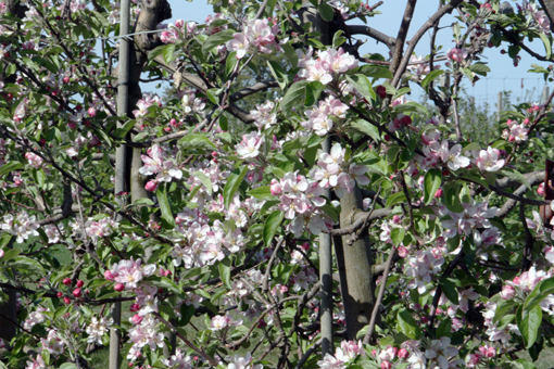 Obstbaumblüte am Isteiner Klotz