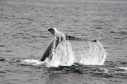Walbeobachtung in Ólafsfjördur mit North Sailing (IS)