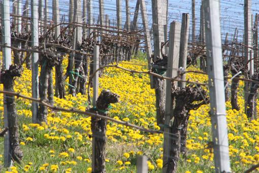 Löwenzahnblüte in den Weinbergen bei Egerten