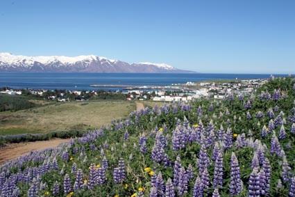 Lupinenblüte über Húsavík (IS)