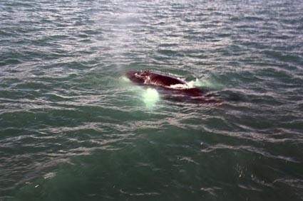 Walbeobachtung mit North Sailing in Húsavík (IS)