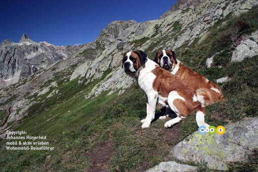 Bernhardiner am Col du Saint Bernard