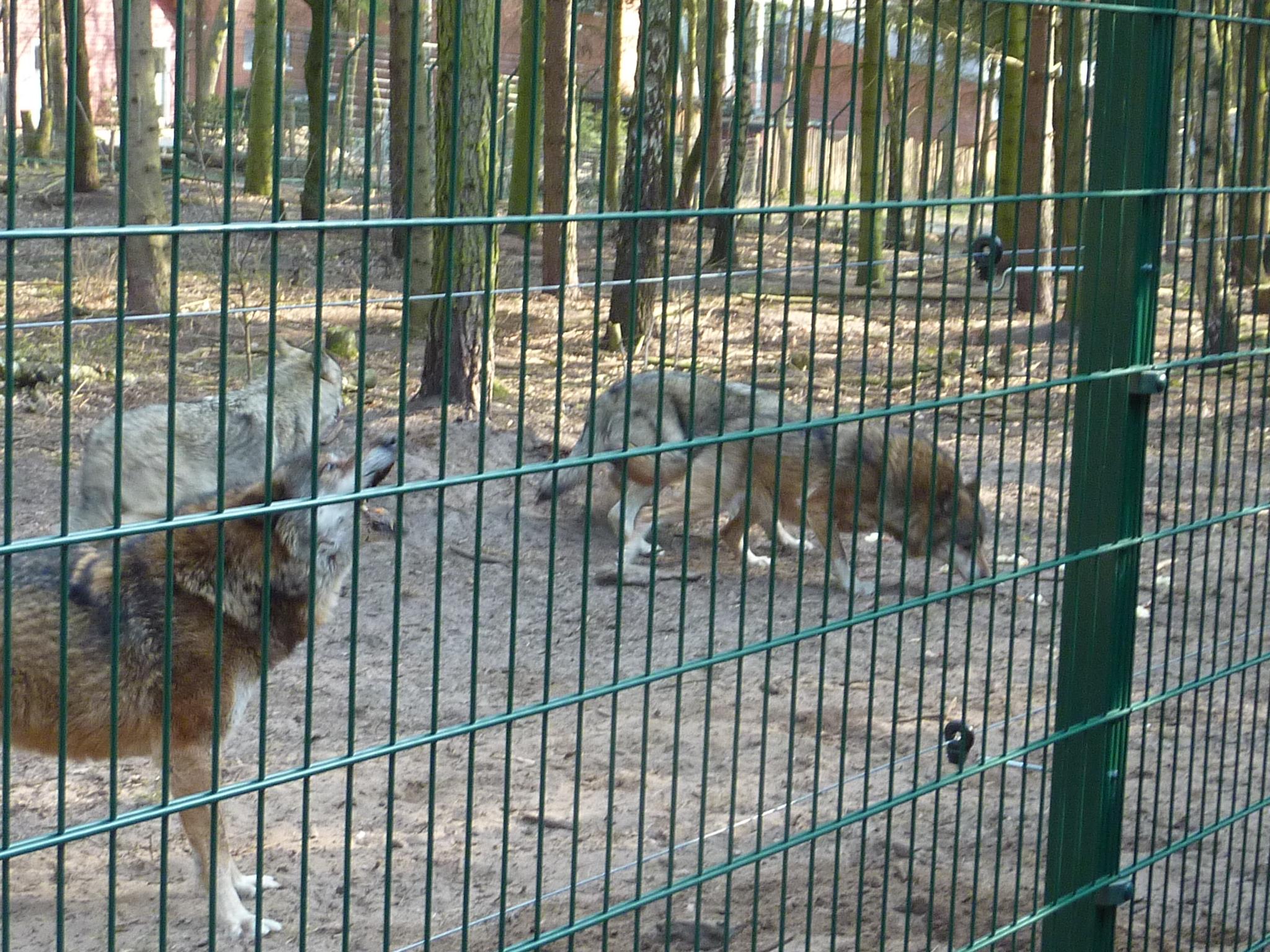 Ausflug zum Wolfscenter