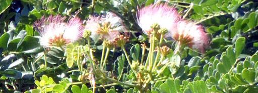 アメリカネムノキの花