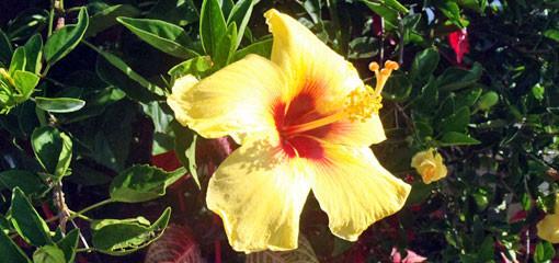 ハイビスカス 黄 ハワイ州の花