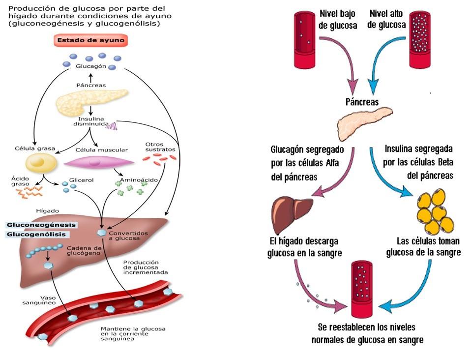 Qué son calcular metabolismo basal vitonica ?