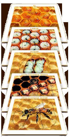 Fünf- Schichten Puzzle 'Die Entwicklung der Biene'