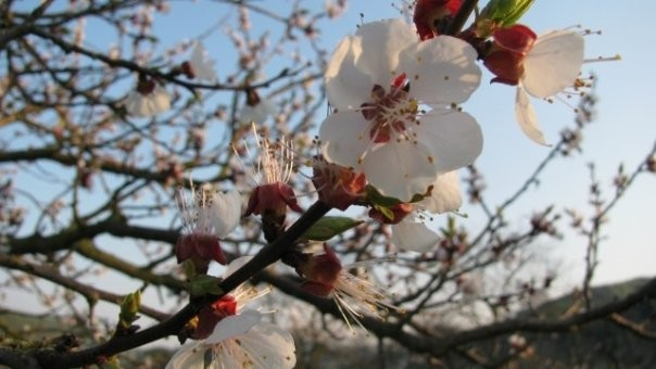 Wachau, Marillenblüte