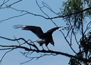 Wahrscheinlich ein Adler