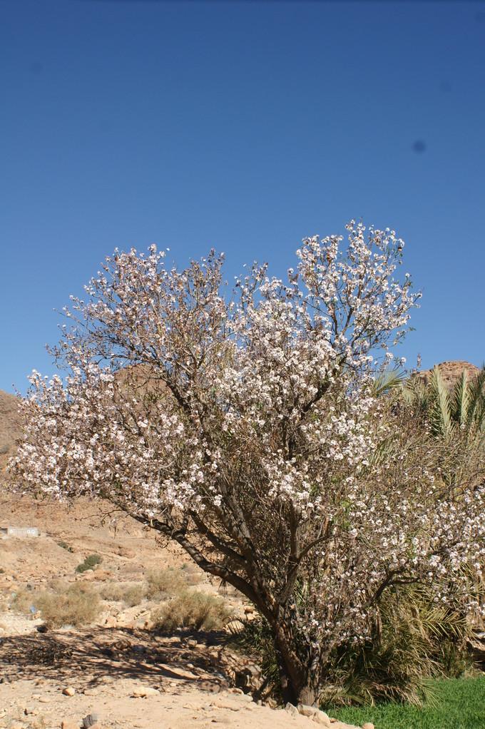 Vermutlich blühender Mandelbaum