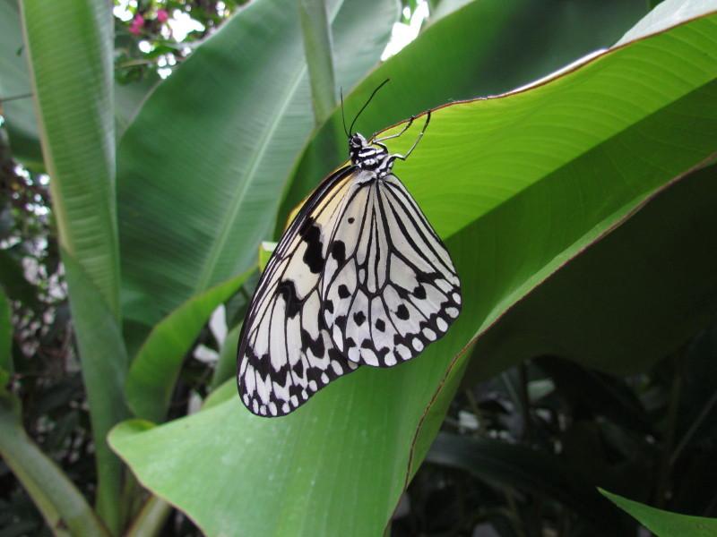 オオゴマダラ(由布島植物園産)