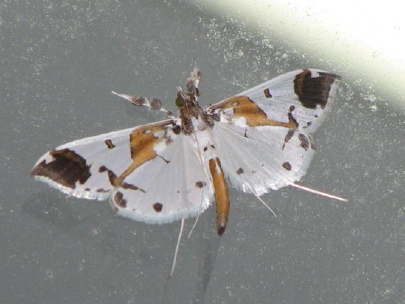 ツマグロシロノメイガ