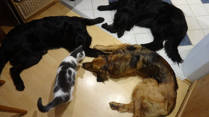Drei Hovawarte liegen am Boden eine Katze kommt dazu